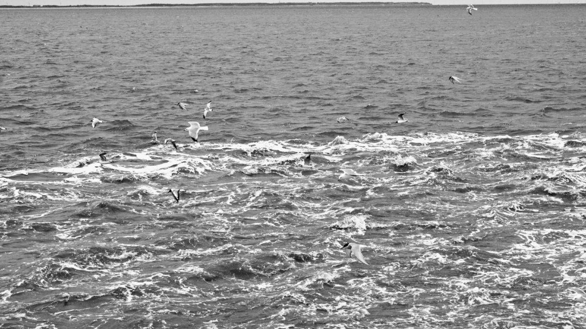 Möwen und Seeschwalben suchen im Kielwasser nach Essbarem